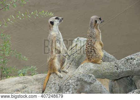 Meerkats Standing. Wary Rodents Standing On Hind Legs. Meerkats Looking Standing On Hind Legs. Portr
