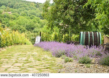 Prague. Czech Republic. June 21, 2015. View Of The Grapevines, Lavender, An Dold Wooden Barrel.