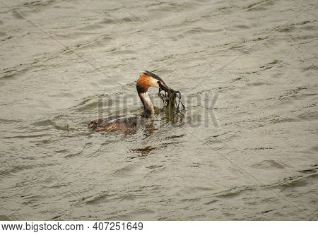 Great Crested Grebe Taing Food To It's Nesting Partner