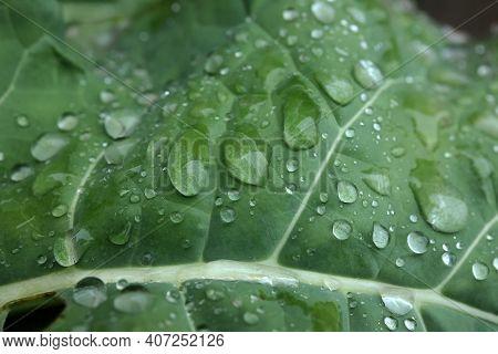 Moisture Droplets On A Green Leaf After Rain