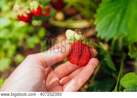 Gardening And Agriculture Concept. Female Farm Worker Hand Harvesting Red Fresh Ripe Organic Strawbe