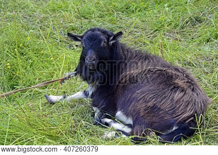 The Goat Lies In The Meadow. Funny Black Long-haired Goat. The Pet Is Tied To A Butt In The Open Air