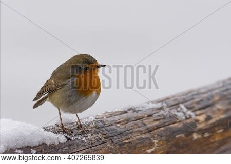 Small Robin Perched On A Snowy Wooden Branch, Small European Bird