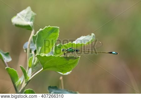 Zoology Concept - A Damselfly On A Plant.