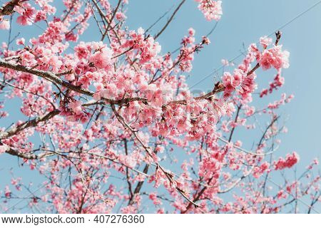 Pink Cherry Blossom In Springtime, Sakura Flowers Blossoming With Branches Against Blue Sky Backgrou