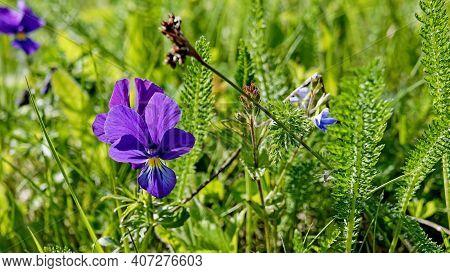 Bright Purple Violet Flower Of Viola Tricolor Close Up. Flower Of Viola Tricolor Also Known As Wild