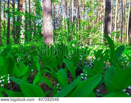 Spring Flower Lilies Of The Valley. Lily Of The Valley. Ecological Background Blooming Lily Of The V