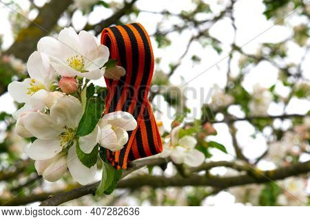 St. George Ribbon A Great Victory Symbol. A Bow Of St George Ribbon On A Branch Of A Flowering Apple