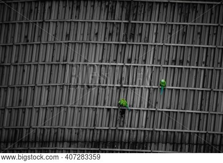 Green Parrots Relaxing On The Industrial Sealing - Couple Of Indian Parrot - Beautiful Indian Green