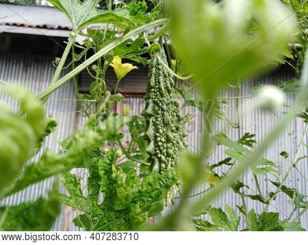 Green Bitter Melon Vegetables On Plant. Bitter Melon Is A Healthy Vegetable For The Human Body.