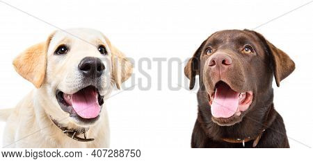 Portrait Of Two Cute Labrador Puppies Isolated On White Background