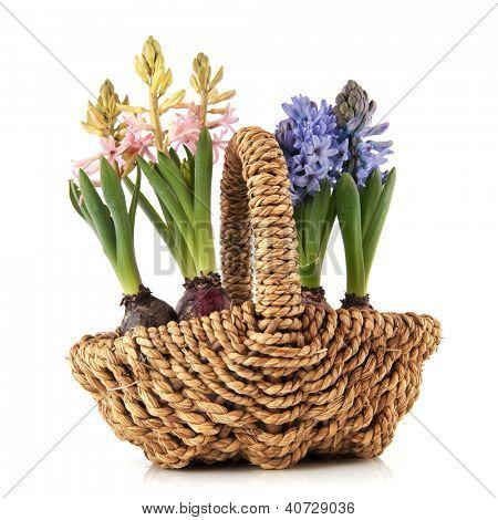 Basket spring hyacints in pink and blue