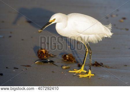 A Snowy Egret With A Crustacean In Its Beak. Capitola Beach, Santa Cruz County, California, Usa.