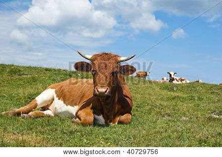 Relaxing Cow in the Pasture