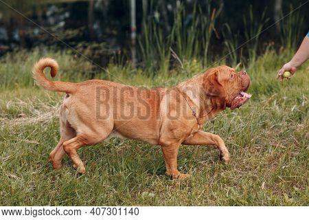 Portrait Dogue De Bordeaux. Dog Mastiff Animal Pet.