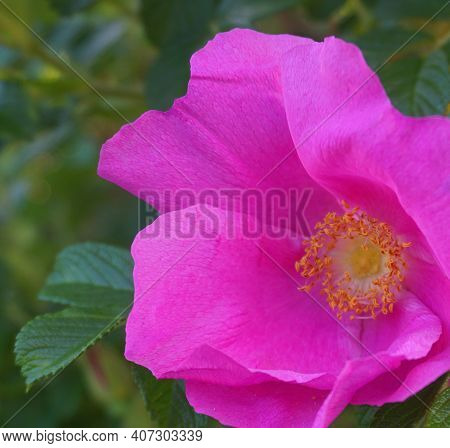 Incredible Beautiful And Fragrant Rosa Rubiginosa Flower On Green Foliage Background. The Tea Made F