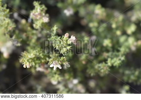 Visianis Savory Leaves - Latin Name - Satureja Visianii