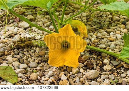 The Flowers Of A Butternut Squash Plant Growing In Friuli-venezia Giulia, North East Italy