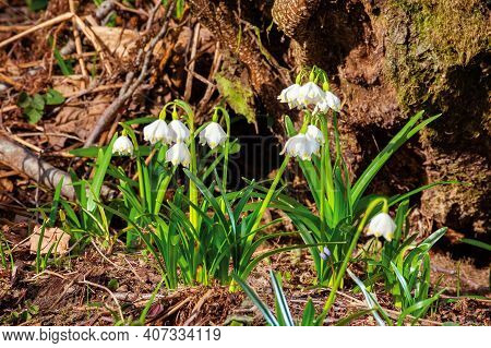 Snowflake Booming In The Forest. Beautiful Wild Flowers Close Up On A Sunny Day. Early Spring Messen