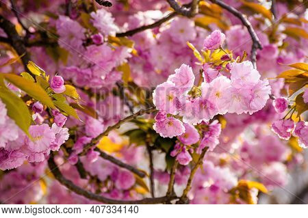 Pink Cherry Blossom Close Up. Beautiful Nature Scenery In Morning Light. Spring Freshness Concept