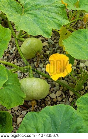 A Flower And Two Pumpkins Growing On A Marina Di Chioggia Plant Growing In Friuli-venezia Giulia, No