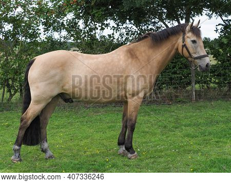 A Pretty Dun Horse Stood Up Showing Its Conformation.