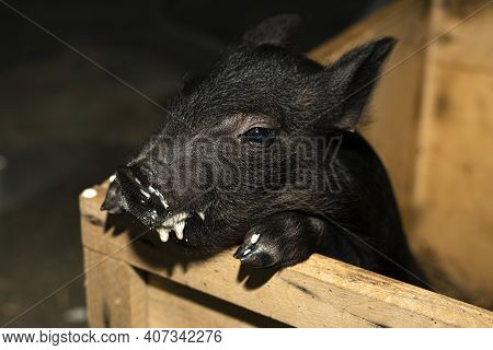 Small Black Piglet Is Eating Milk From A Bottel.