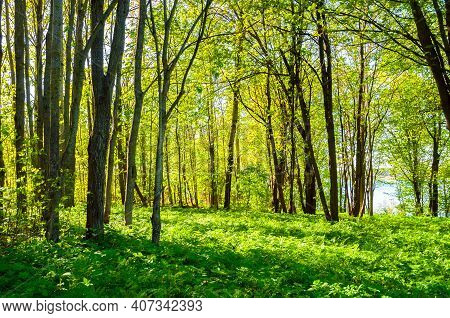 Summer forest landscape in sunny summer weather - summer forest trees and green lawn on the foreground lit by soft sunlight. Forest summer nature in sunny summer day