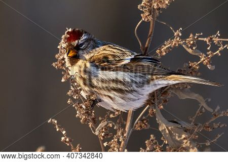 Bird - Redpoll ( Acanthis Flammea ) Female Sits On Dry Grass And Eats Last Year's Seeds. Sunny Winte
