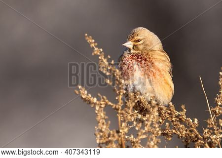 Bird - Common Linnet ( Linaria Cannabina ) Male Sits On Dry Grass And Eats Last Year's Seeds. Sunny