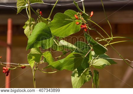 A Red Flowered Scarlet Runner Bean Plant Growing In Friuli-venezia Giulia, North East Italy In July.