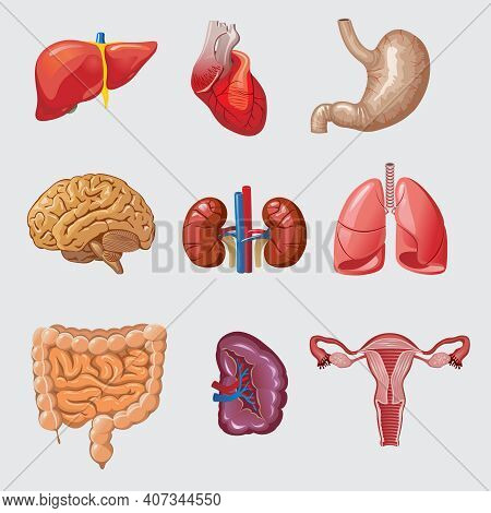 Cartoon Human Organs Set With Liver Heart Stomach Brain Kidneys Lungs Intestines Spleen Female Repro