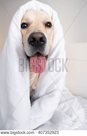 Happy Smiling Young Golden Retriever Dog Under A White Blanket. In Cold Winter Weather, The Pet Keep