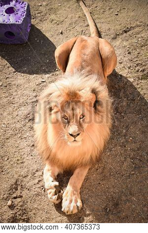 Lion In Our Zoo In The Czech Republic. He Is In Zoo Usti And He Is So Beautiful One