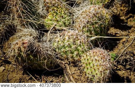 Prickly Pear Cacti (opuntia Sp.) In The Foothills Of The Mountains. Cacti