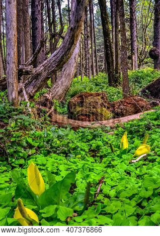Western Skunk Cabbage (lysichiton Americanus) In A Red Alder Grove, Olympic National Park, Washingto