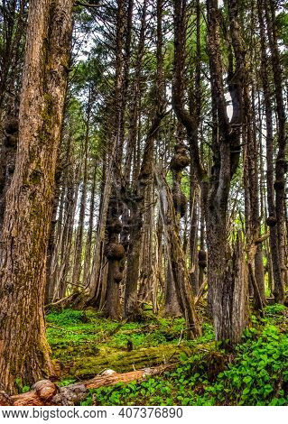 Old Trees With Outgrowths On Trunks In The Forest On The Shores Of The Pacific Ocean In Olympic Nati