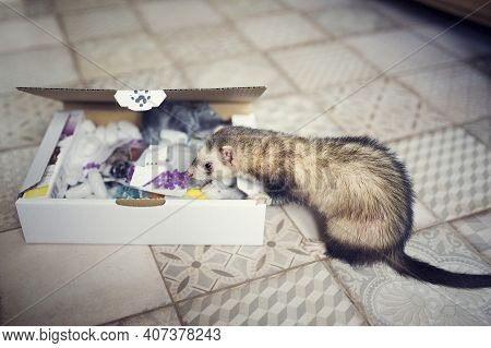 Young Ferrets Examines The Play Box. Curious Animal Pet In Home With Toys