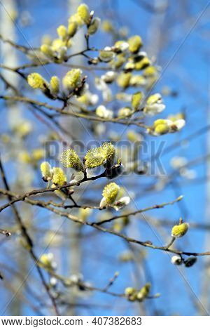 Many Willow Branches With Bushy Sprouts Blossom Against Clear Cloudless Blue Sky In Bright Spring Da