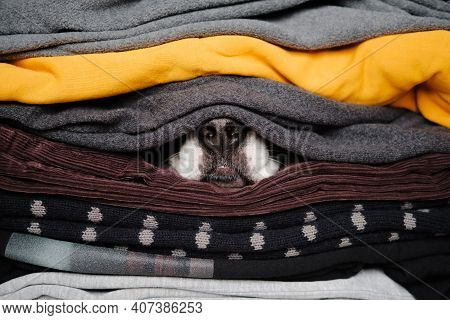 Dog's Nose Hiding Between Textures Of Sweaters And Warm Clothes. Concept Of Winter Season And Pets D