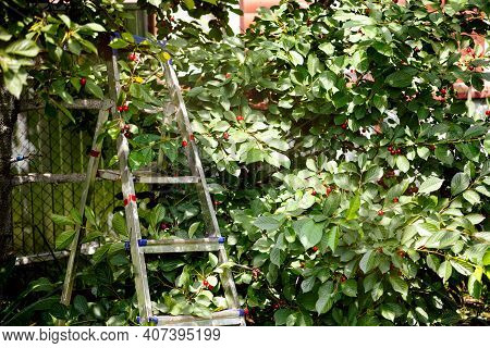 Step Ladder Near Cherry Tree With Ripe Berry In Orchard. Summer Time