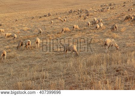 Sheep Grazing In The Fields Of Andalusia