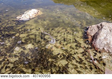 Tadpoles Swimming In A Mountain Lake, Vanoise National Park, French Alps