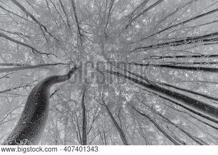 View Of Into The Crown Of Winter Beech Trees