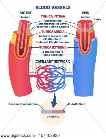 Blood Vessels Educational Banner Or Poster. Comparison Of The Structure Of The Artery And Vein. Diag