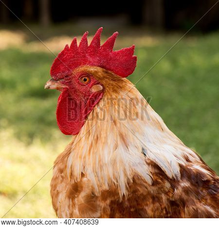 Front View Portrait Of Brightly Colored Cockerel Face. Colorful Rooster With A Beautiful Head Close-