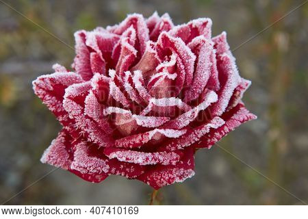 Frost On A Rose, Red Rose Macro In Winter Under Frost In The Cold