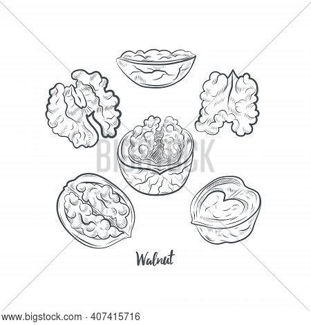 Walnut Sketch Vector Illustration. Hand Drawn Walnut Sketch Isolated On White Background.