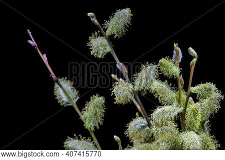 blossoming goat willow branch isolated on black background