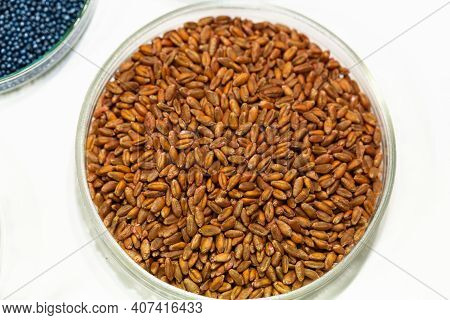 Wheat Seeds, Cereal Seeds With Red Seed Dressing Or Seed Treatment
